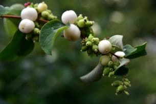 The Snowberry